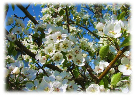 Many blossoms normally produce many pears