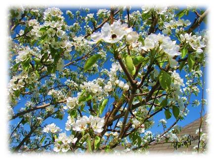 Pear Tree Blossom 2